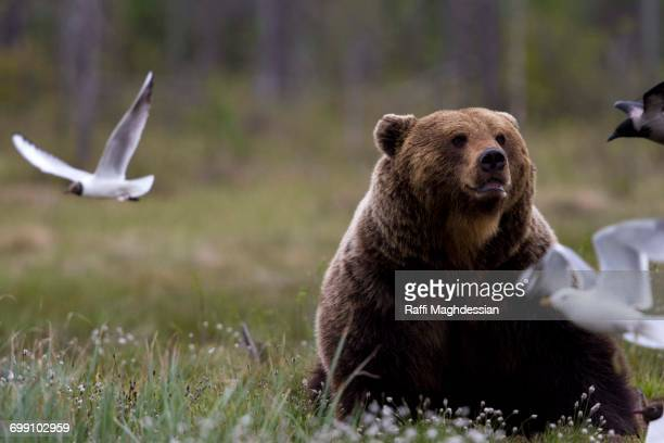 Brown Bear sitting up in a grass field with seagull