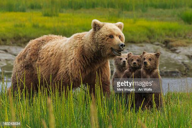 Brown bear sow and cubs, in the long grass by the water at Lake Clark National Park, Alaska, USA