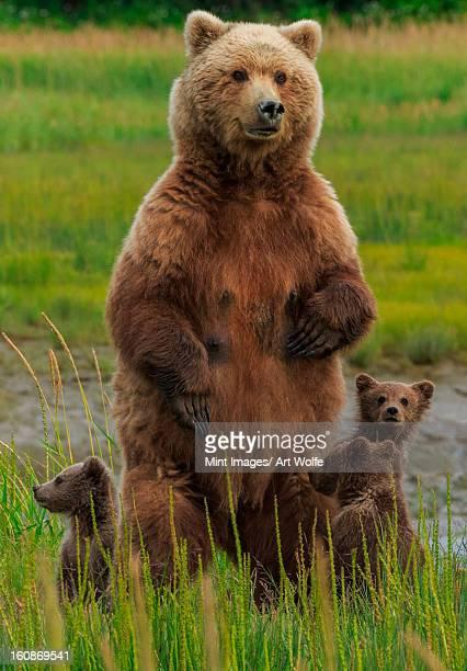 brown bear sow and cubs, lake clark national park, alaska, usa - ours brun photos et images de collection