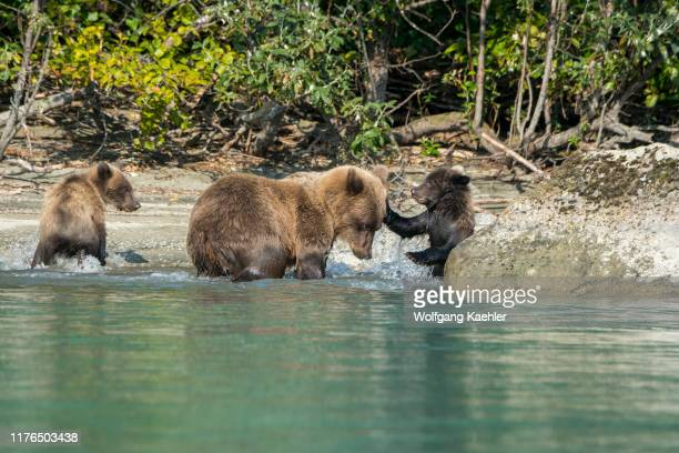 Brown bear sow and her cubs are playing along the shore of Lake Crescent in Lake Clark National Park and Preserve, Alaska, USA.