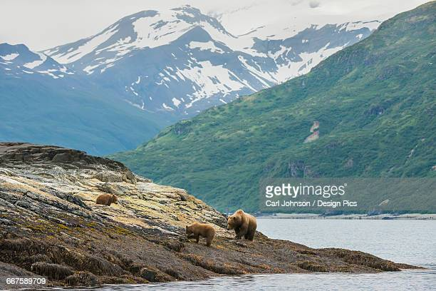 A brown bear sow and her yearling cubs forage the shoreline for food in Kukak Bay, Katmai National Park & Preserve, Alaska.