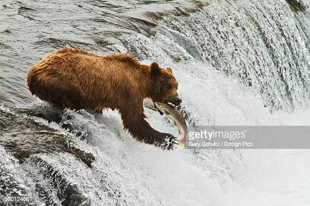 Brown bear (Ursus arctos) sow catching sockeye salmon (Oncorhynchus nerka) at Brooks Falls, Brooks River, Katmai National Park