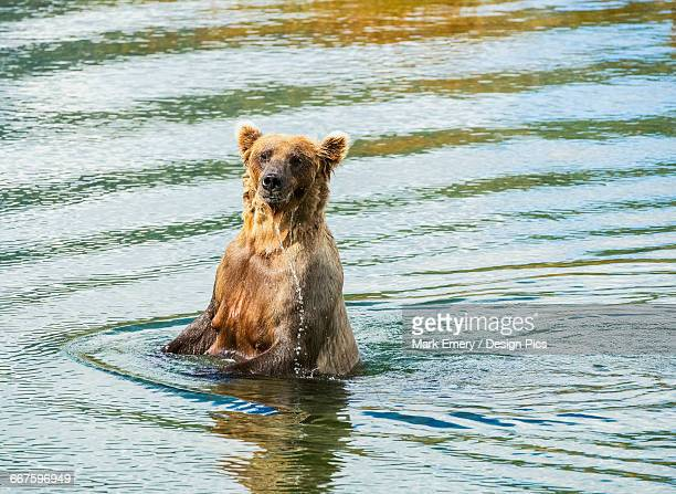 brown bear (ursus arctos) sow fishes for salmon in deeper water, katmai national park - emery stock photos and pictures