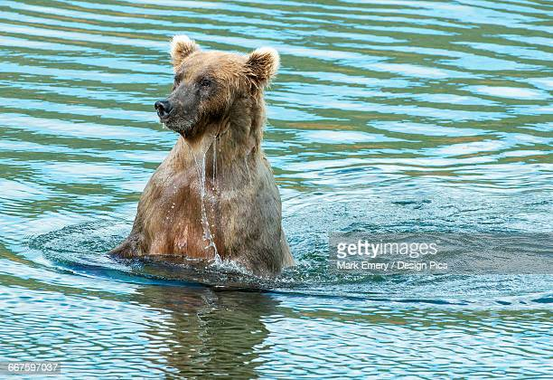 brown bear sow (ursus arctos) keeping an eye on her cub - emery stock photos and pictures