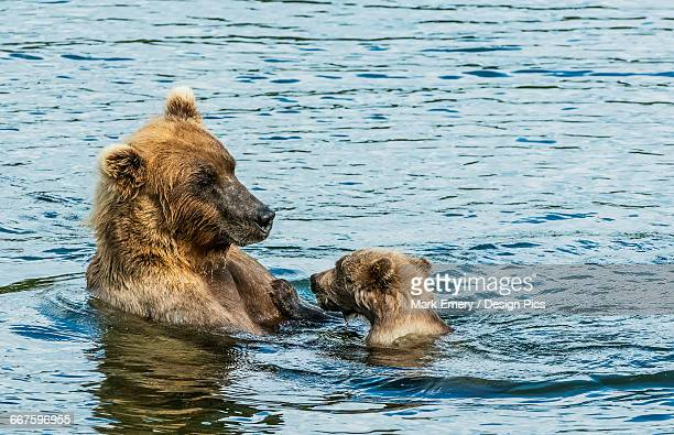 brown bear (ursus arctos) sow spending time with her cub in the river - emery stock photos and pictures