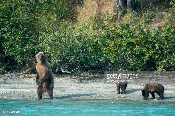 Brown bear sow standing and her cubs are looking for salmon along the shore of Lake Crescent in Lake Clark National Park and Preserve, Alaska, USA.