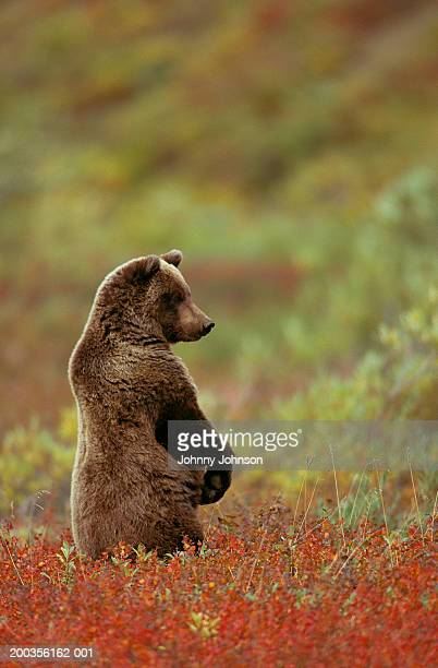 Brown bear (Ursus arctos) standing in patch of bearberry
