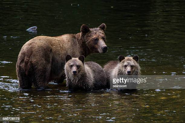 Brown bear standing in river with her cubs, Canada