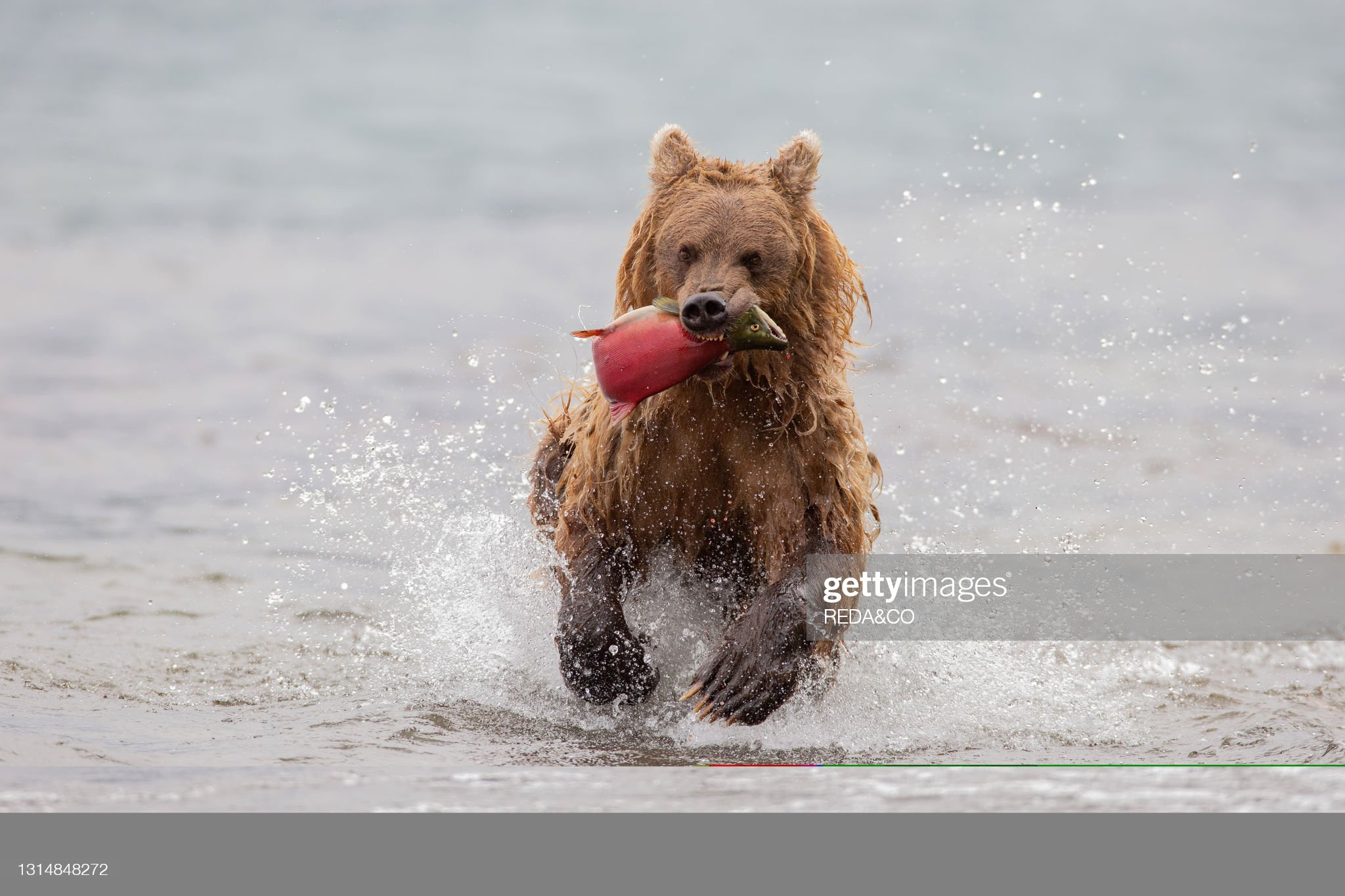 Brown bear (Ursus arctos beringianus) the bear after catching a salmon fish runs towards Kurile Lake beach. Kamchatka peninsula. Russian Federation. Eurasia : Foto di attualità