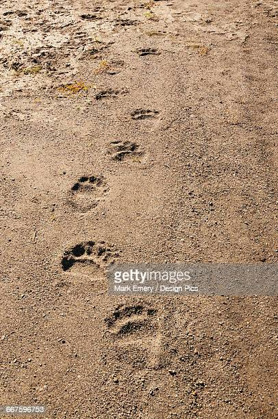 brown bear tracks amble down an alaskan shoreline, katmai national park, southwest alaska - bear tracks stock photos and pictures
