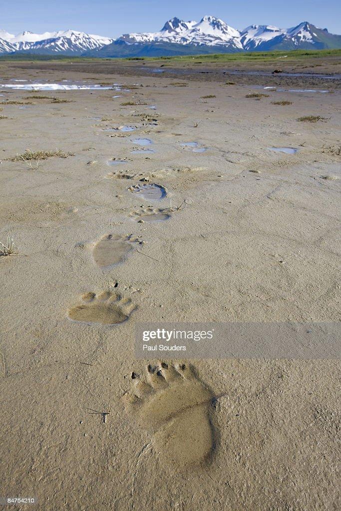 Brown Bear Tracks, Katmai National Park, Alaska : Stock Photo