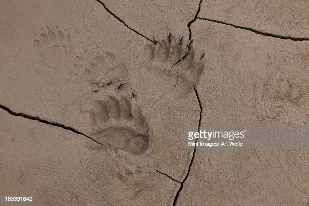 brown bear tracks, lake clark national park, alaska, usa - bear tracks stock pictures, royalty-free photos & images