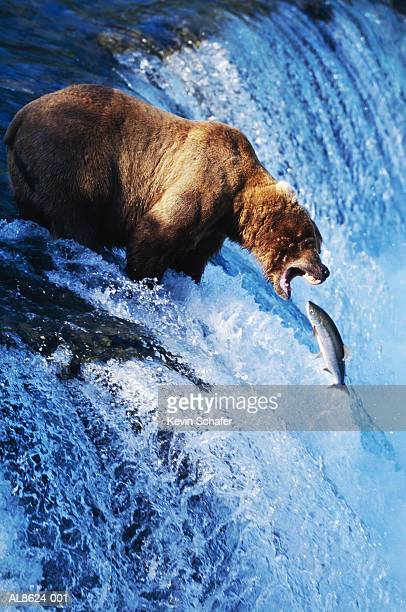 Brown bear (Ursus arctos) trapping salmon on waterfall, Alaska, USA