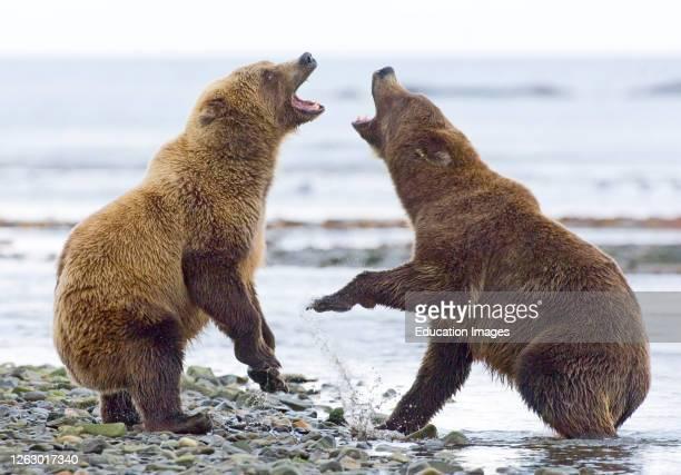 Brown Bear, Ursos arctos, fighting along edge of coastal creek Katmai, Alaska, USA.