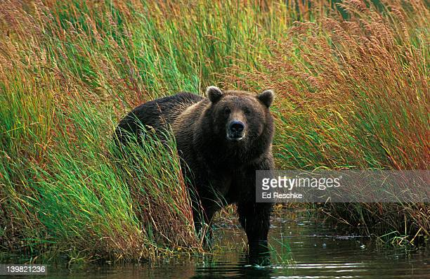 Brown Bear, Ursus arctos, Brooks River, Katmai National Park, Alaska, USA
