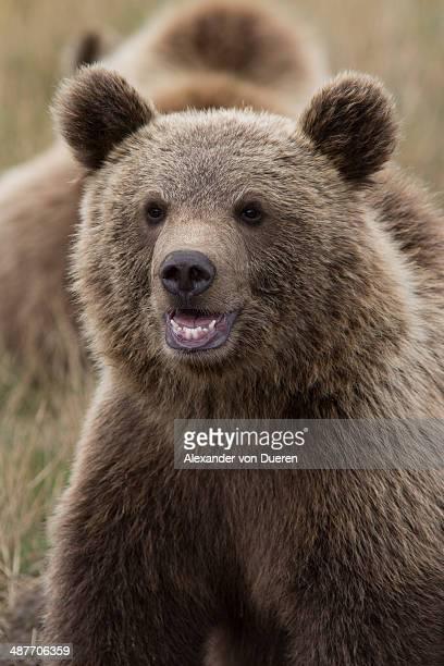Brown Bear -Ursus arctos-, cub, in Skandinavisk Dyrepark or Scandinavian Wildlife Park, Jutland, Denmark