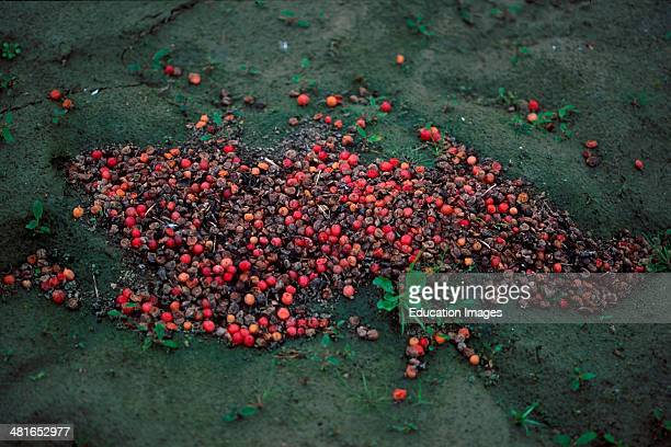 Brown Bear Ursus arctos horribilis excrement in autumn the berries are at full maturity It is clear to recognize that this bear has almost...