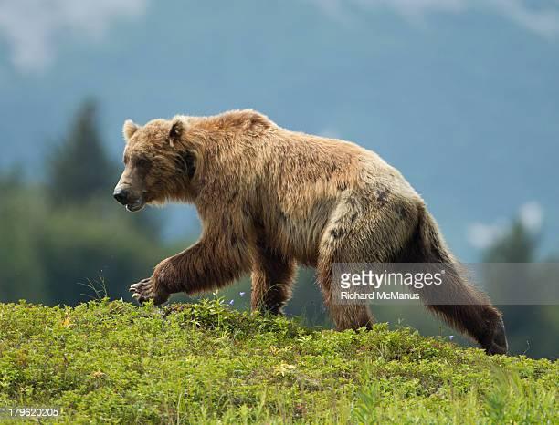 Brown bear walking on hill.