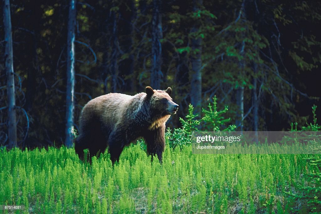 Brown bear walking through forest : Stock Photo