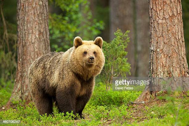 Brown bear walking through forest, Taiga Forest, Finland