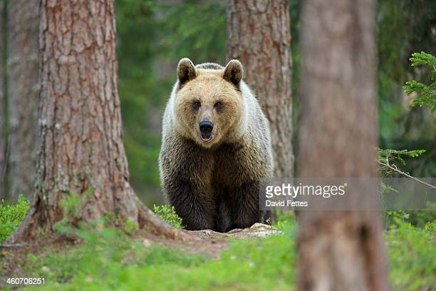 brown bear walking through forest, taiga forest, finland - one animal stock pictures, royalty-free photos & images