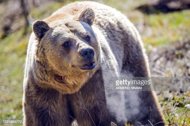 Brown bear walks at the Pristina Bear Sanctuary in the village of Mramor on February 12, 2021. - The story of the sanctuary began after a group of...