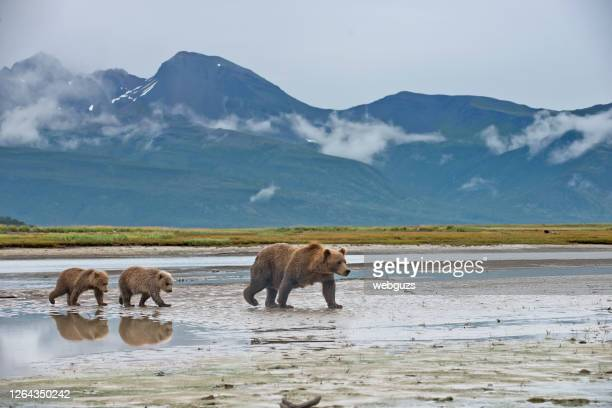 a brown bear with 2 spring cubs - bear cub stock pictures, royalty-free photos & images