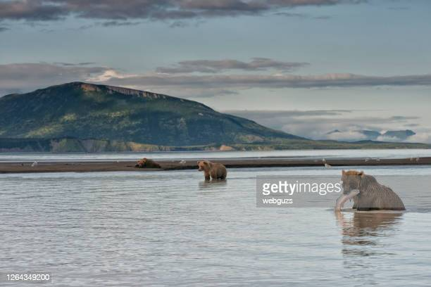 a brown bear with a salmon catch in katmai national park alaska - bear stock pictures, royalty-free photos & images
