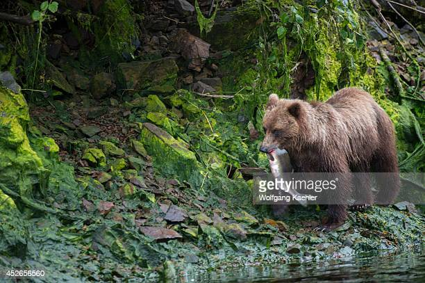 Brown bear with salmon at Pavlof Harbor in Chatham Strait Chichagof Island Tongass National Forest Alaska USA
