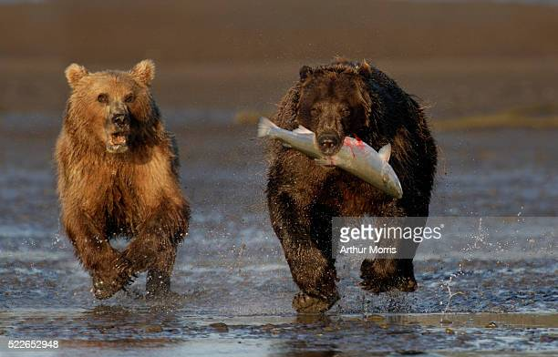 brown bear with salmon being chased by mother - 追いかける ストックフォトと画像