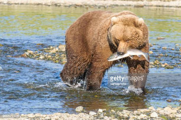 Brown Bear With Salmon in Mouth in River