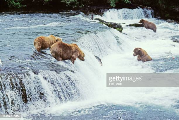 Brown (Grizzly) Bears at a waterfall fishing for Salmon