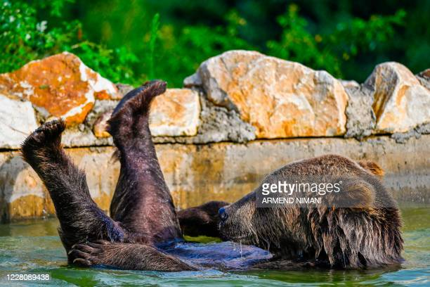 Brown bears cools off in a pool at the bear sanctuary near the village of Mramor, on August 18, 2020. - The bear sanctuary was closed for visitors on...