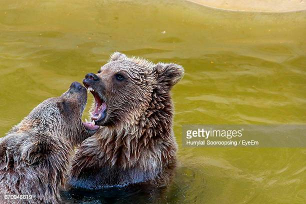 Brown Bears Fighting In Lake