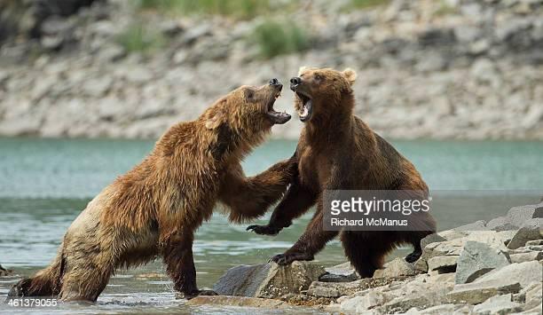 Brown bears fighting.