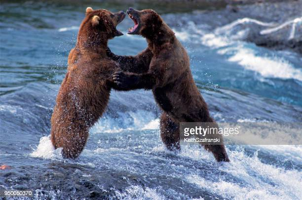 brown bears fighting - orso grizzly foto e immagini stock