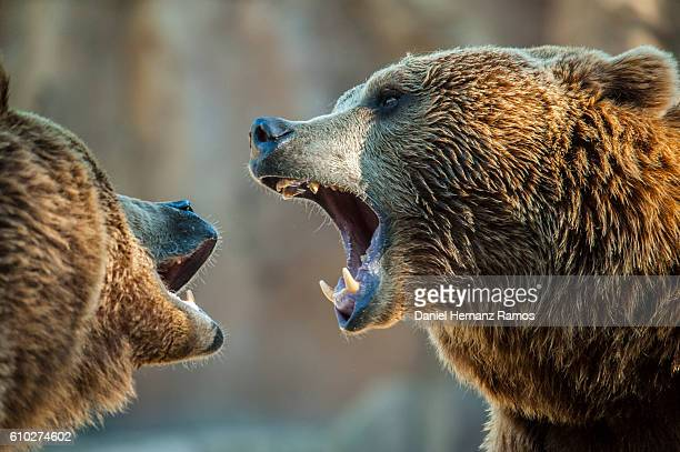 brown bears fighting with open mouth showing his fangs. head detail close up - orso bruno foto e immagini stock