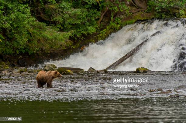 Brown bears fishing for salmon in waterfall at Pavlof Harbor in Chatham Strait, Chichagof Island, Tongass National Forest, Alaska, USA.