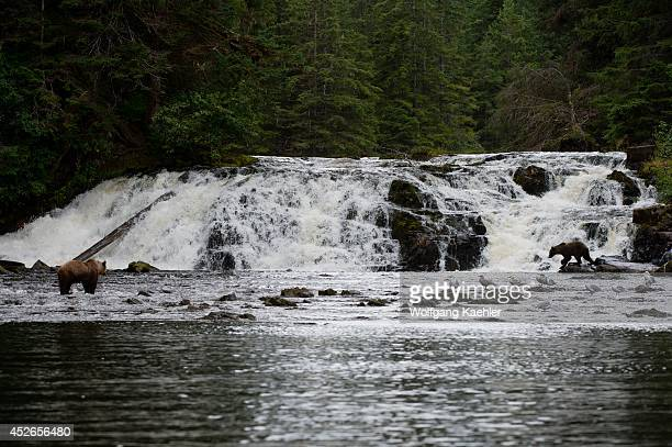 Brown bears fishing for salmon in waterfall at Pavlof Harbor in Chatham Strait Chichagof Island Tongass National Forest Alaska USA