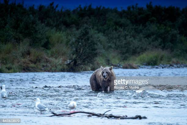 Brown bears fishing for salmon on the Moraine River on August 20 2017 in Katmai National Park Alaska
