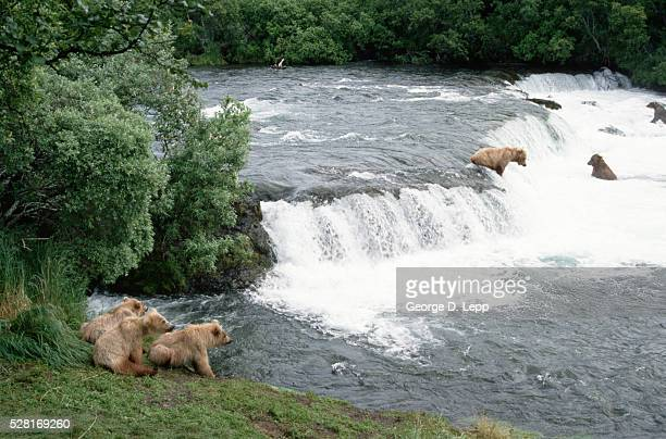 Brown Bears Fishing In Waterfall