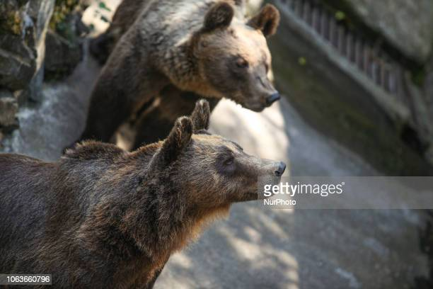 Brown bears in captivity in Thessaloniki's Zoo Brown bears are endangered species in Greece They appear in mountains of Northern Greece like Rodope...