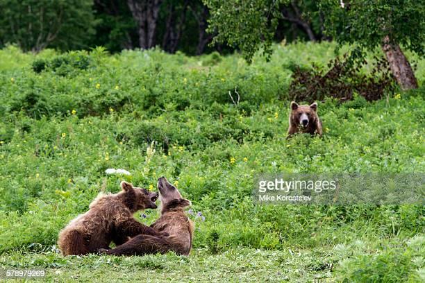 Brown bears, Kamchatka, Russia