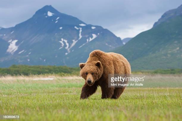 Brown bears, Katmai National Park, Alaska, USA