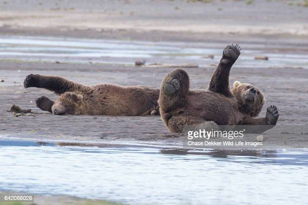 Brown Bears Stretching
