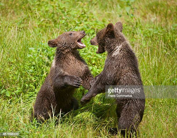 Brown Bears -Ursus arctos- cubs playing on a meadow, Bavarian Forest National Park game reserve, Neuschoenau, Lower Bavaria, Bavaria, Germany