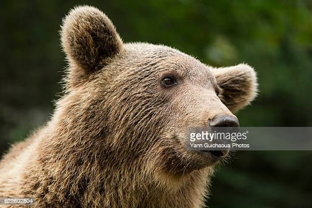brown bear,ursus arctos,pyrenees animal park, argelès-gazost, hautes pyrenees, midi pyrenees, france - hautes pyrenees stock pictures, royalty-free photos & images