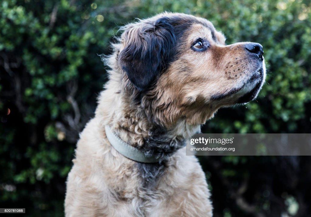 Brown Bernese Mountain Dog - The Amanda Collection : Stock Photo