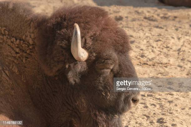 brown bison lying on the sand sleeping in spain - bialowieza forest foto e immagini stock