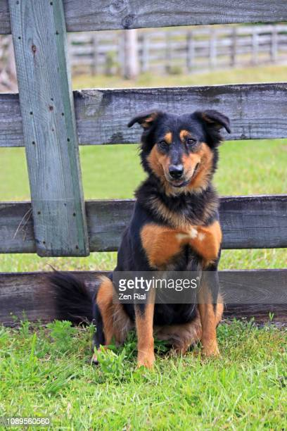 A brown black colored dog in front of wooden fence in sitting position facing forward